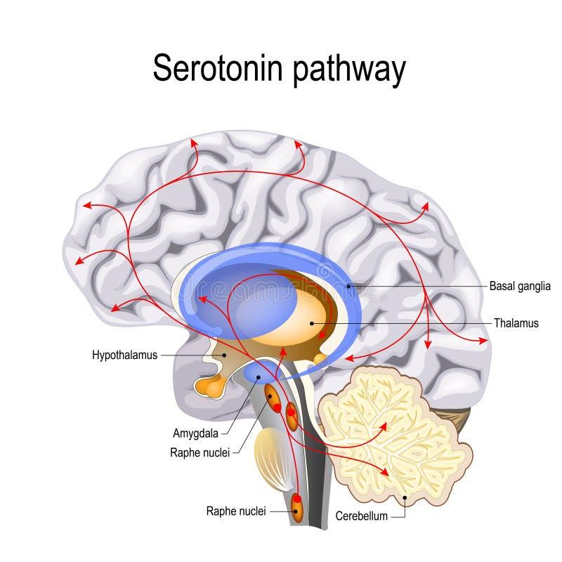 Serotonin pathway. vector diagram royalty free illustration