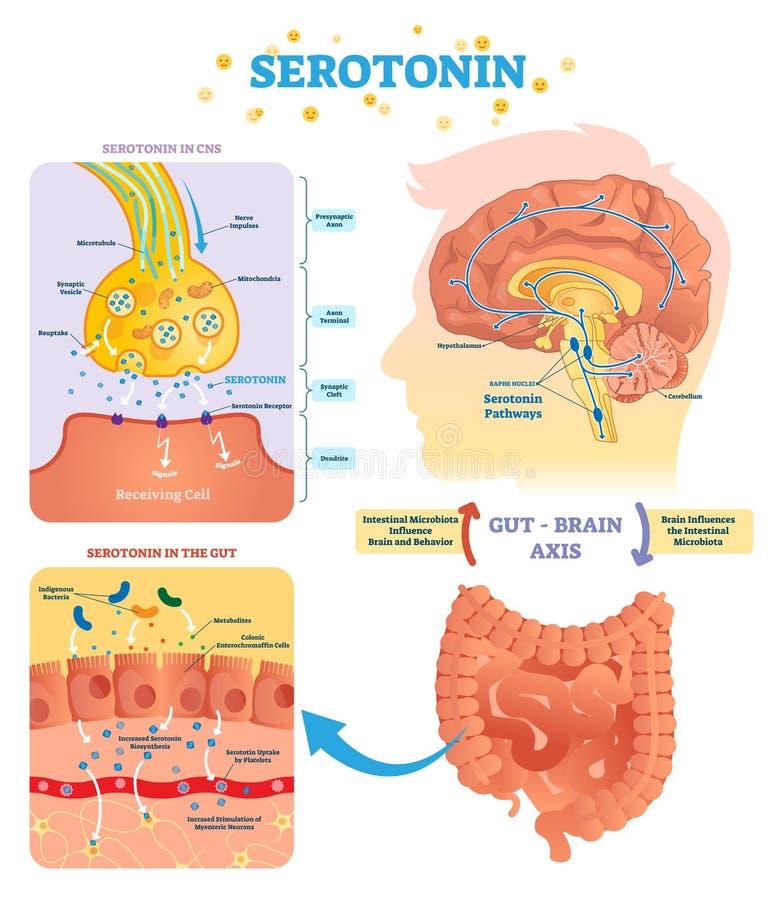 Serototin-Vektorillustration Beschriftetes Diagramm mit Darmgehirnachse und CNS lizenzfreie abbildung