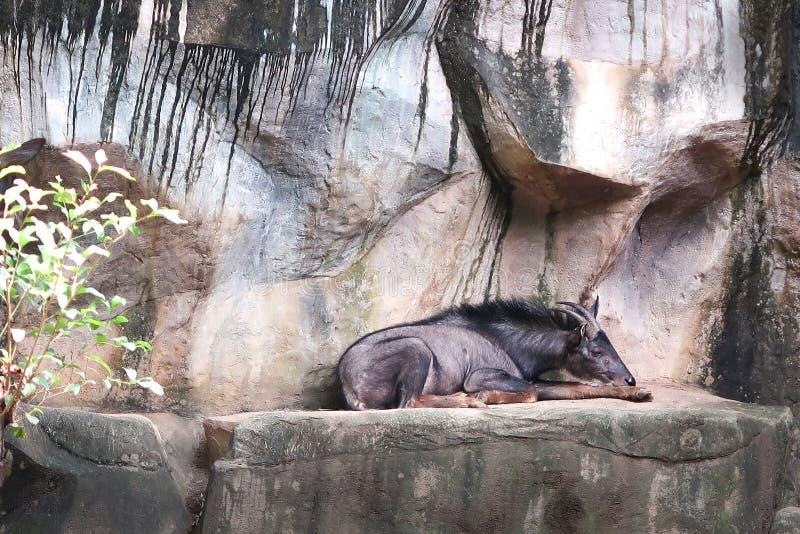 Serow auf der Klippe im Zoo stockfotografie