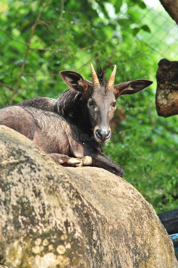 serow sumatran στοκ εικόνες