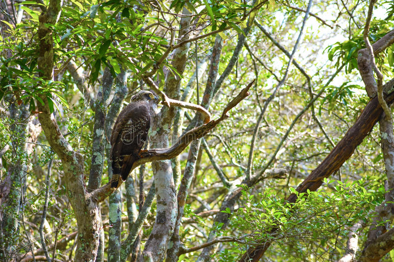 Serpant eagle. Vivid looking eagle scanning miles away for its prey in the forest. The beautiful wild creature with stunning speed stock image