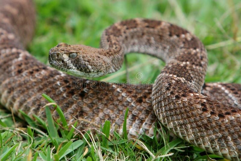 Serpent à sonnettes images libres de droits