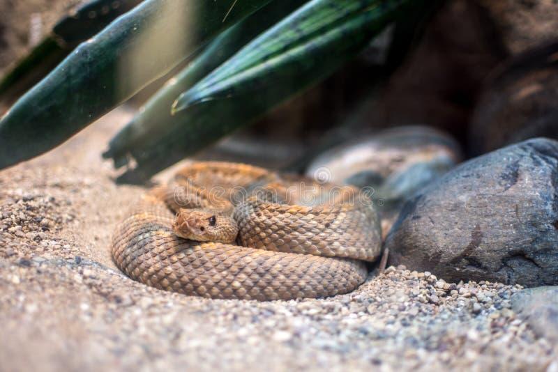 Serpent à sonnettes au zoo photo stock