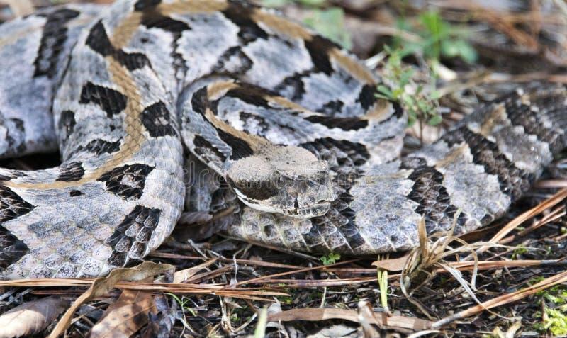 Serpent à sonnettes de bois de construction, le comté de Greene, la Géorgie Etats-Unis image stock