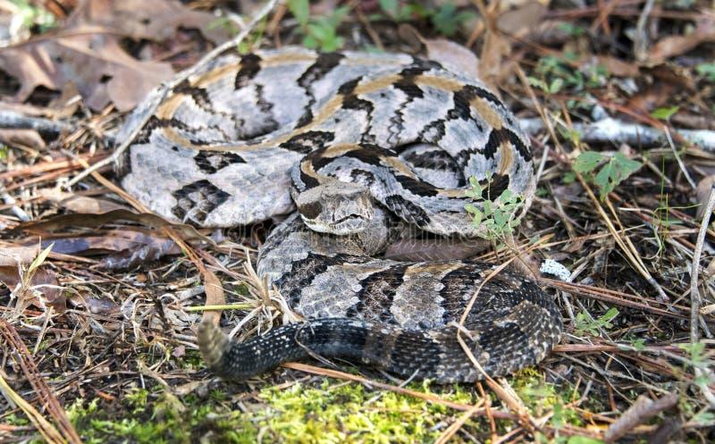 Serpent à sonnettes de bois de construction, le comté de Greene, la Géorgie Etats-Unis photographie stock libre de droits
