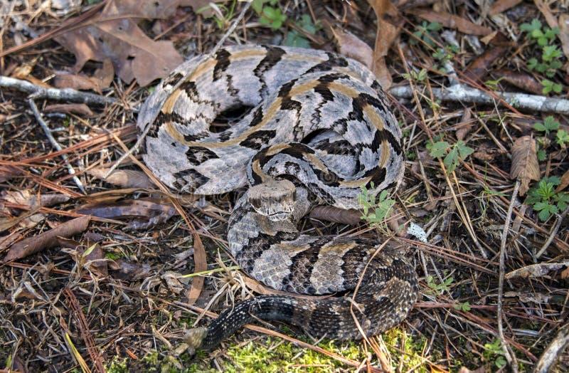 Serpent à sonnettes de bois de construction, le comté de Greene, la Géorgie Etats-Unis images stock
