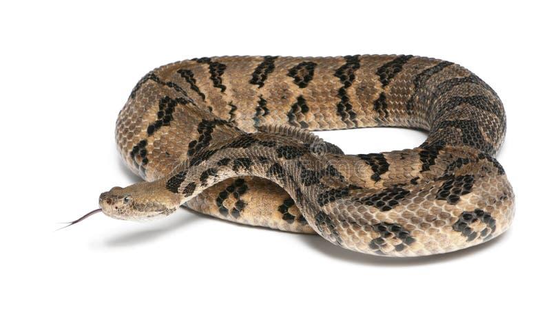 Serpent à sonnettes de bois de construction photo stock