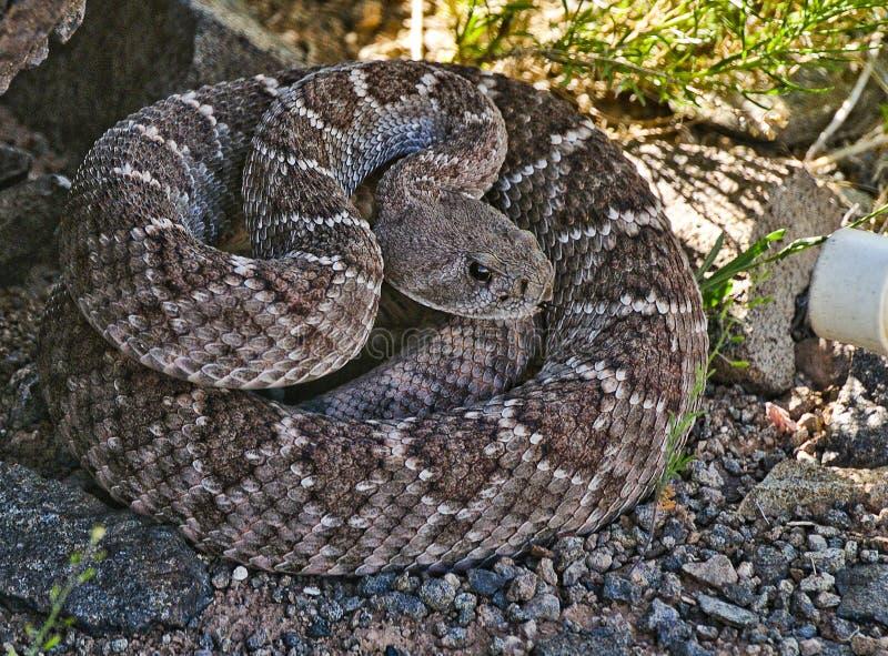 Serpent à sonnettes de dos en forme de losange occidental images stock