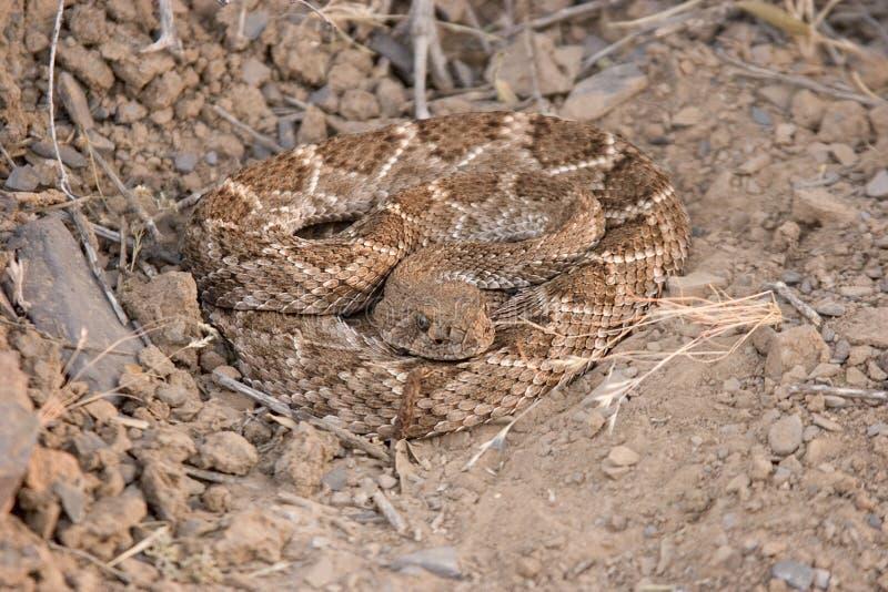 Serpent à sonnettes de dos en forme de losange occidental photographie stock libre de droits