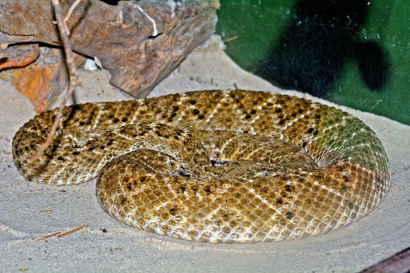 Serpent à sonnettes de dos en forme de losange occidental photos libres de droits