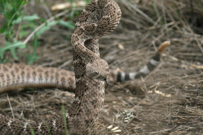 Serpent à sonnettes de dos en forme de losange occidental - Sedona, Arizona photo stock