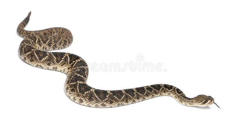 Serpent à sonnettes de dos en forme de losange oriental images stock