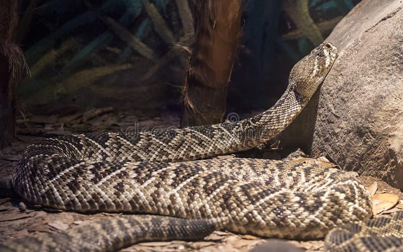 Serpent à sonnettes de dos en forme de losange photographie stock