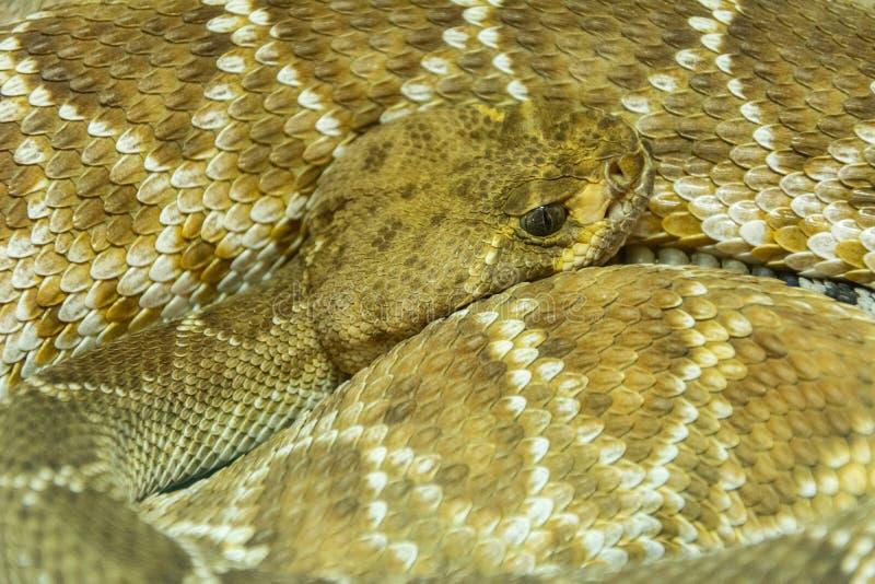 Serpent à sonnettes de dos en forme de losange occidental image stock