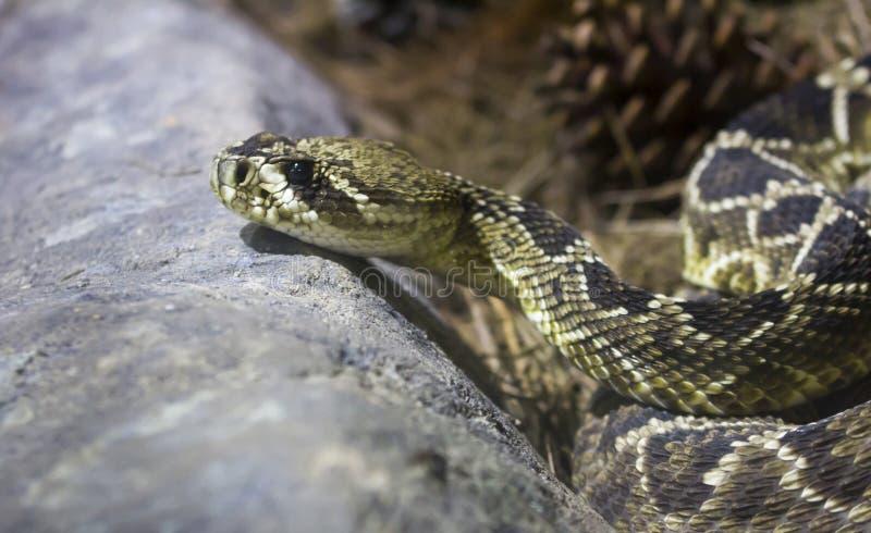 Serpent à sonnettes de dos en forme de losange oriental