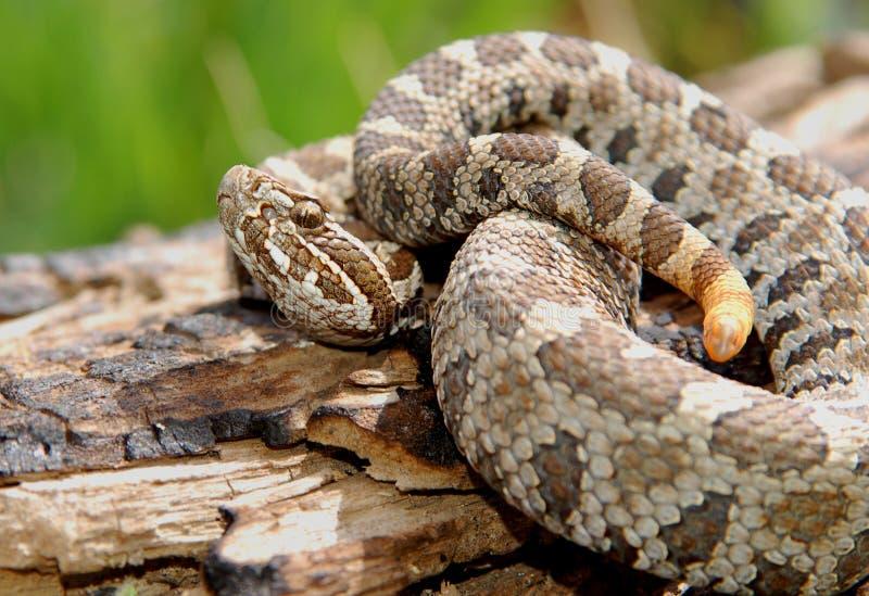 serpent à sonnettes de massasauga photo libre de droits