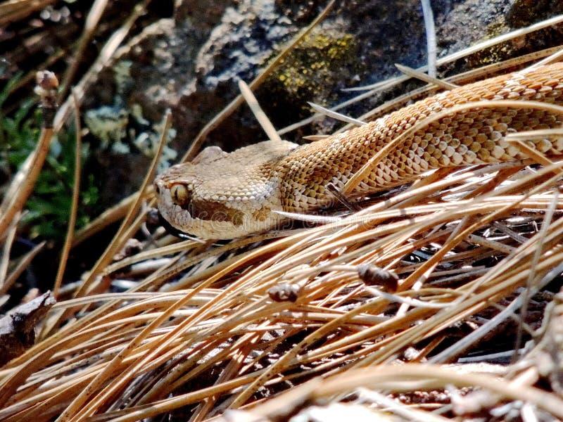Serpent à sonnettes Pacifique du nord rampant, Castella, la Californie, Etats-Unis photo stock