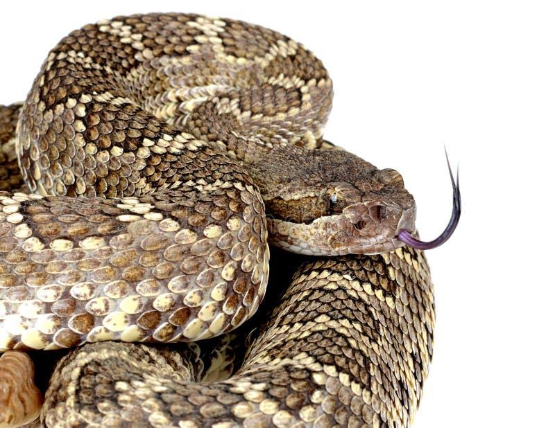 Serpent à sonnettes Pacifique du sud. images libres de droits