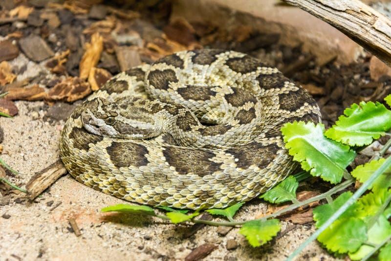 Serpent à sonnettes Pacifique méridional photo libre de droits