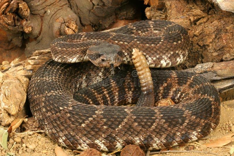 Serpent à sonnettes Pacifique méridional    image stock
