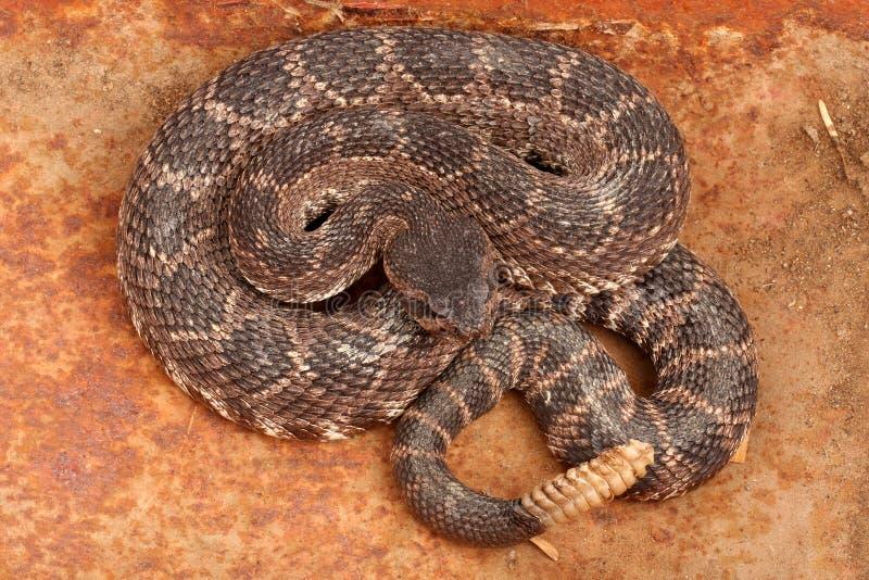 Serpent à sonnettes Pacifique méridional. photos stock