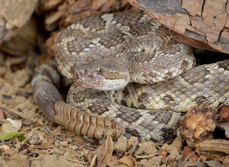 Serpent à sonnettes Pacifique méridional photographie stock