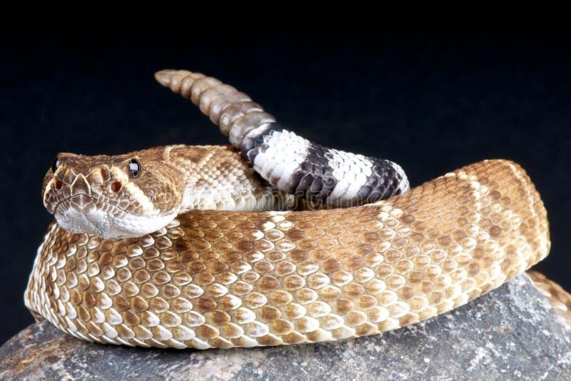 Serpent à sonnettes rouge photographie stock libre de droits