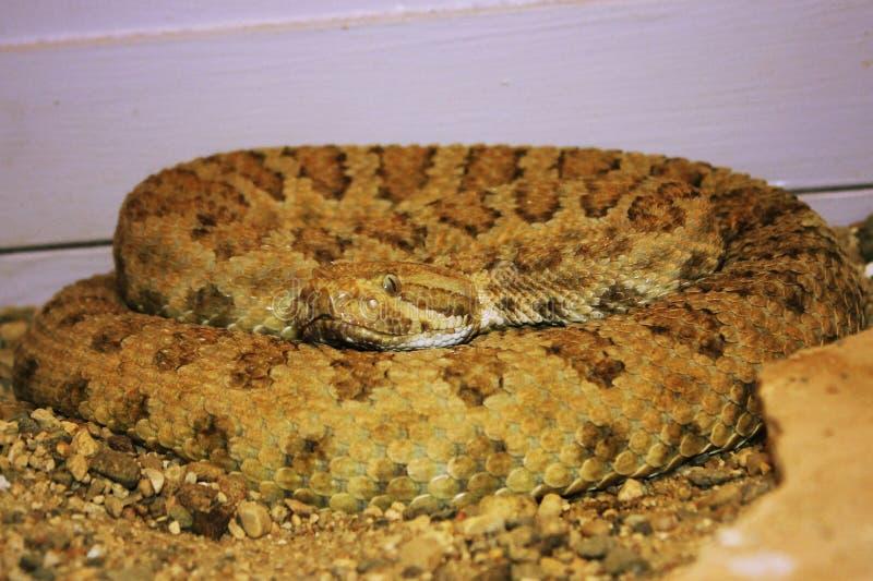 Serpent à sonnettes sur l'affichage à un jardin dans le Dakota du Sud images libres de droits