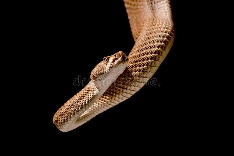 Serpent à sonnettes sur le fond noir photos libres de droits