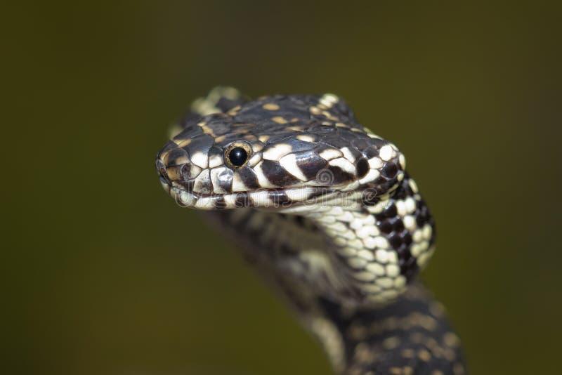 serpent à tête large (bungaroides de Hoplocephalus) images stock