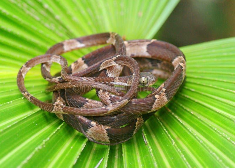 serpent Épointé-dirigé d'arbre, cenchoa d'Imantodes photographie stock libre de droits
