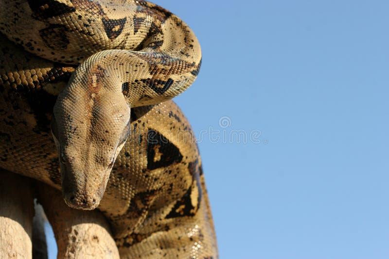 Serpent 2 de python image libre de droits