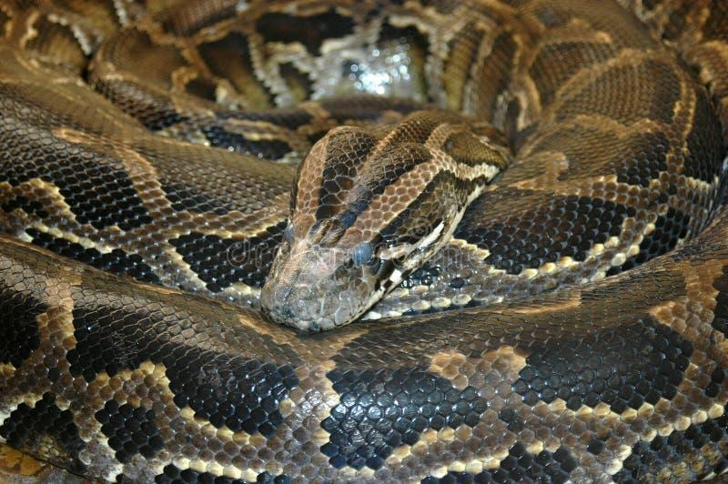 Serpent africain méridional de python de roche photographie stock