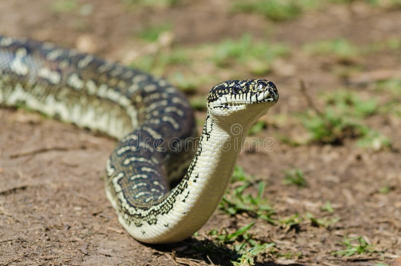 Serpent australien - Diamond Python Morelia Spilota images stock