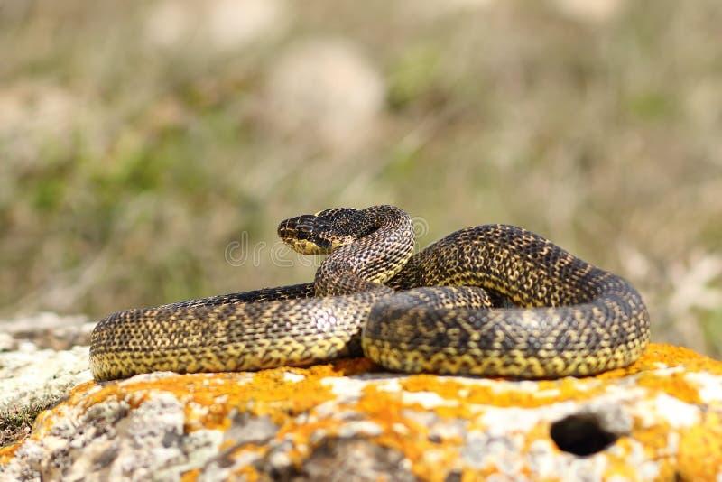 Serpent blotched intégral image stock