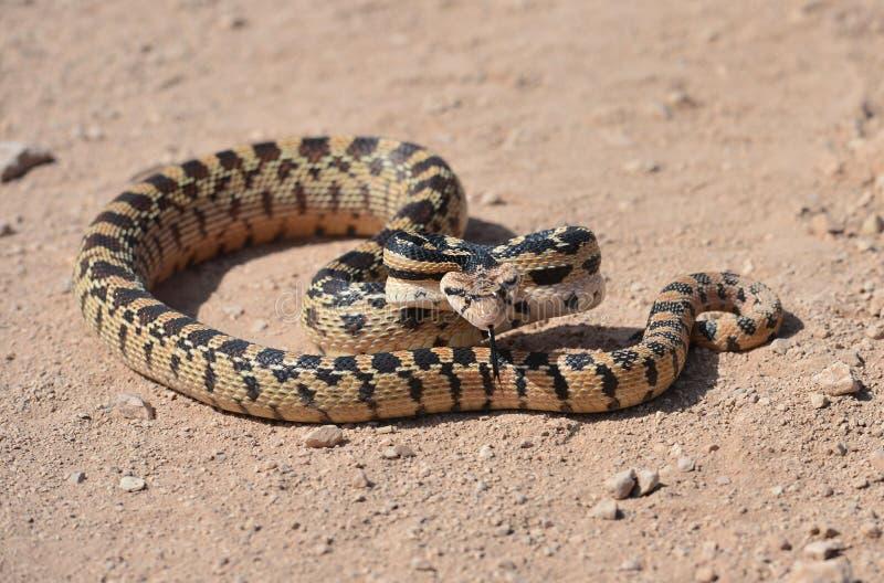Serpent brillant de désert californien, désert de mohave, la Californie photographie stock