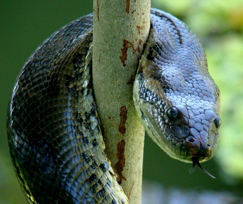 Serpent d'anaconda lové images stock