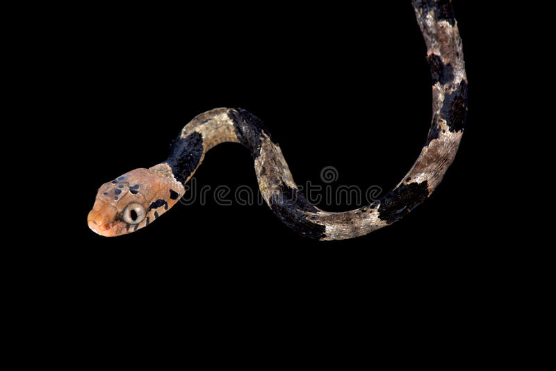 Serpent d'arbre de Blandings, blandingii de Toxicodryas image stock