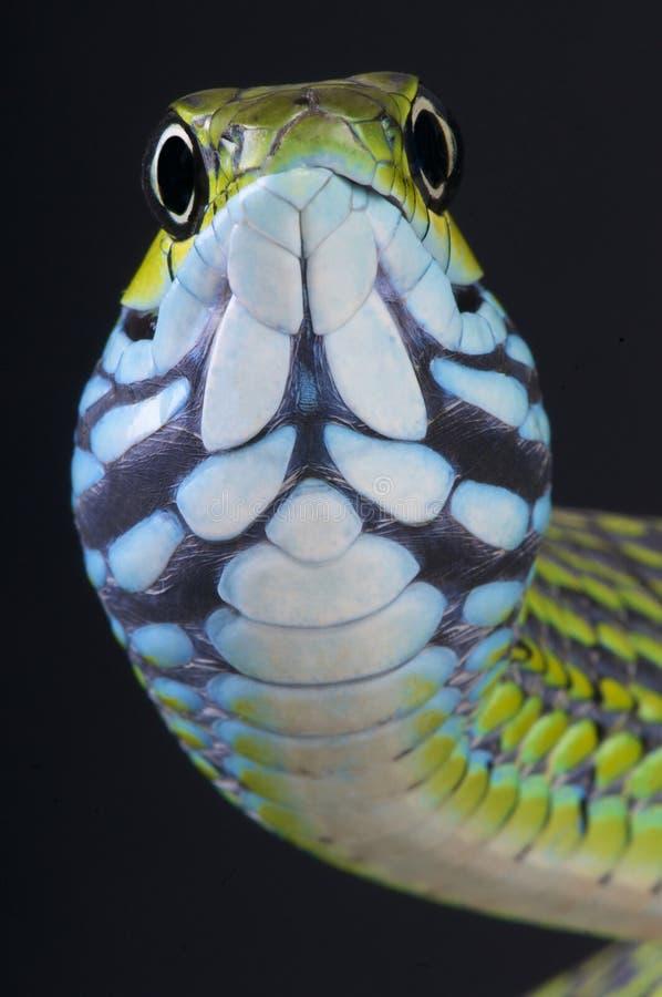 serpent d'arbre de Poignard-dent/aethiopissa de Rhamnophis images stock