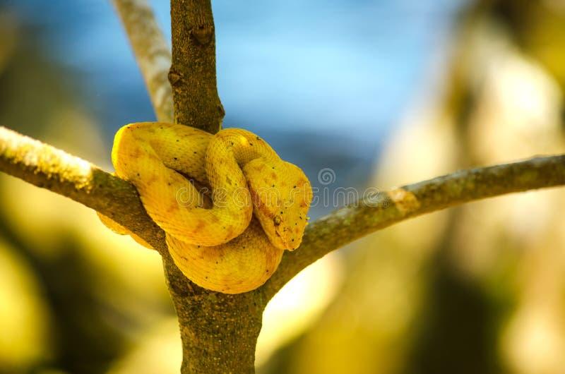 Serpent d'or de vipère de cil photographie stock libre de droits