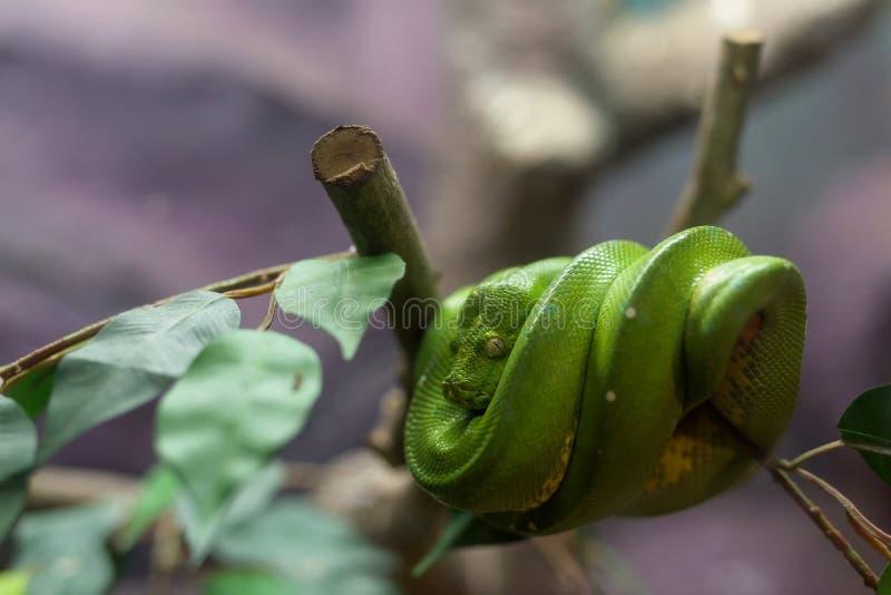 Serpent d'Emerald Tree Boa images libres de droits
