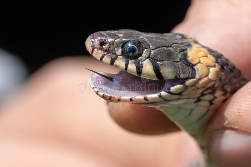 Serpent d'herbe dans les mains humaines Natrix de Natrix photo stock