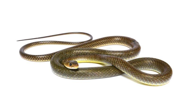 Serpent d'isolement sur le blanc image libre de droits