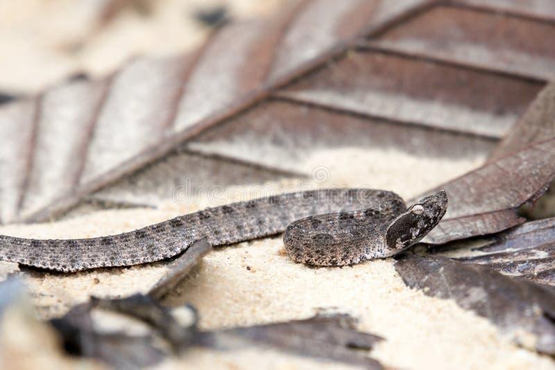 Serpent dangereux malais de Pit Viper en Thaïlande et Asie du Sud-Est photos stock