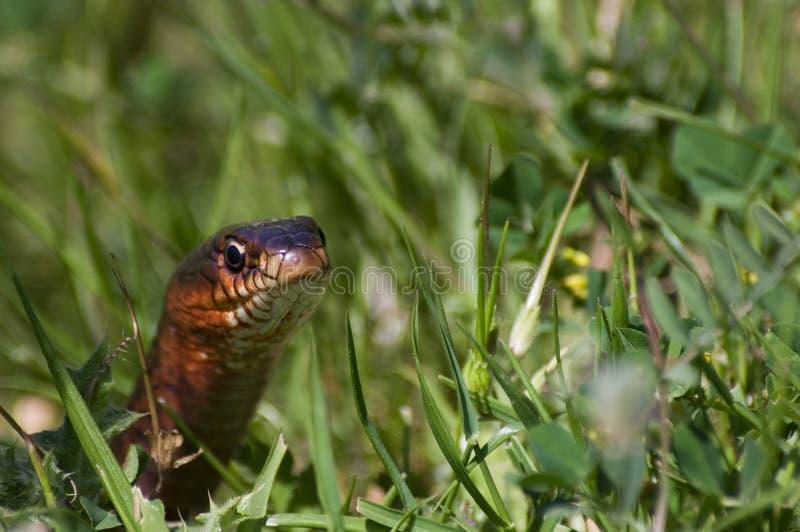 Serpent dans l'herbe photo stock