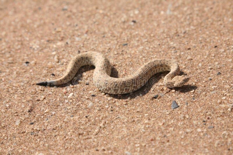 Serpent dans le désert images libres de droits