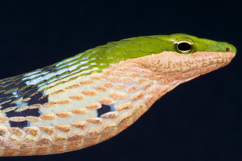 Serpent de brindille/kirtlandii de Thelotornis images libres de droits