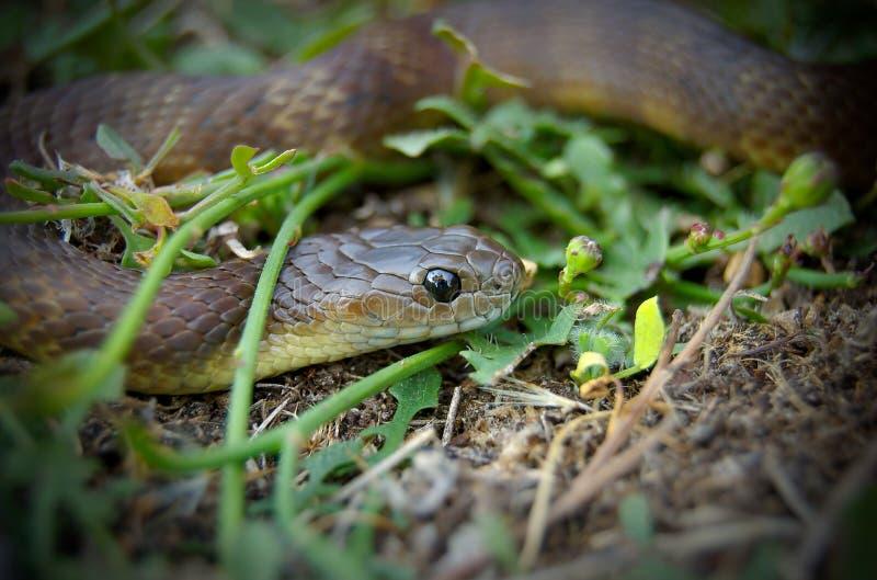 Serpent de Brown dans l'herbe photographie stock