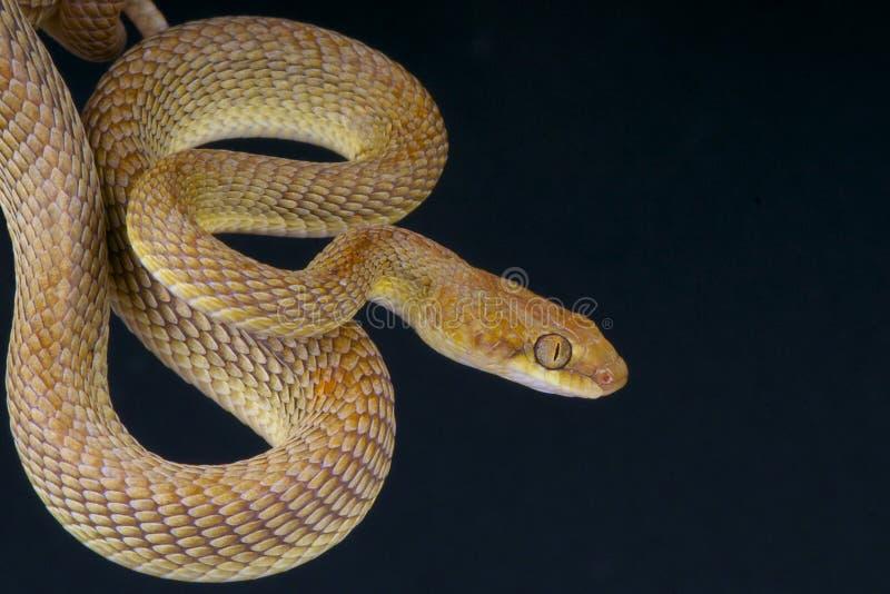 Serpent de chat/dhara Arabes de Telescopus photographie stock