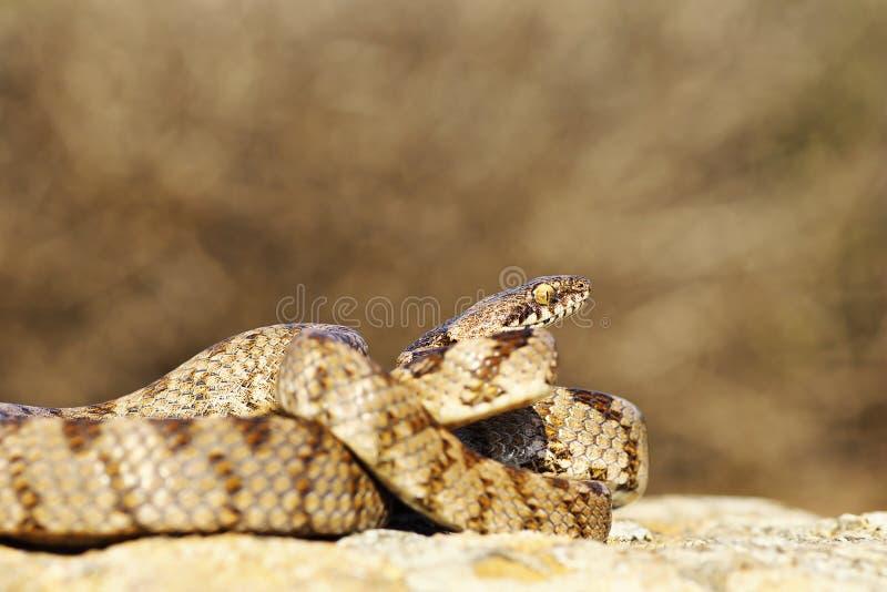 Serpent de chat, intégral du reptile juvénile image stock
